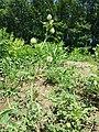 Hibiscus trionum sl33.jpg