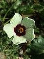 Hibiscus trionum sl76.jpg