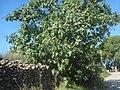 Higuera, árbol frutal.jpg
