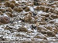 Himalayan Snowcock (Tetraogallus himalayensis) (39560023112).jpg