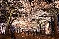 Hitachi Sakura Festival, Ibaraki 32.jpg
