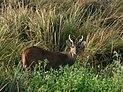 Hog deer in Terai grassland.JPG