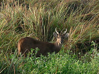 Indian hog deer - Young hog deer male in Assam