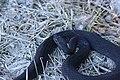 Hoggorm (Vipera berus) (4738816076).jpg