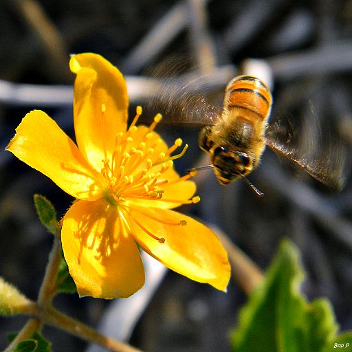 Honey Bee Happy Dance (7075103325)