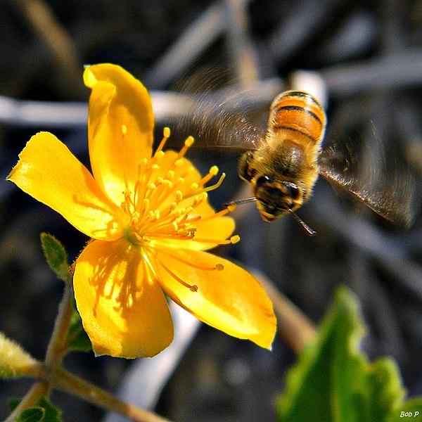File:Honey Bee Happy Dance (7075103325).jpg