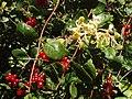 Honeysuckle and berries - geograph.org.uk - 50384.jpg