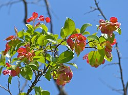 Hopseed Bush (Dodonaea viscosa) (11905240226).jpg