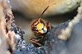 Hornisse Vespa crabro 6496.jpg