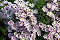 Hoverfly On Autumn Asters (102923717).jpeg