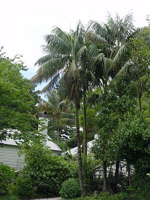 Howea forsteriana - H. forsteriana in cultivation, New Zealand