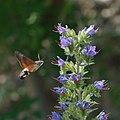 Hummingbird hawk moth (Macroglossum stellatarum) (28270681056).jpg