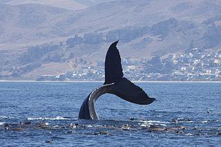 file:humpback whale (megaptera novaeangliae) (14902935282