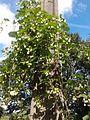 Humulus lupulus climbing electricity pole.jpg