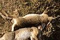 Hunting hare Lepus nigricollis MG 5312 08.jpg