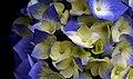 Hydrangea (11380488336).jpg