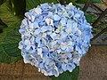 Hydrangea macrophylla.001 - Burela.jpg