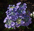 Hydrangea macrophylla 'Blaumeise' B.jpg