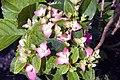 Hydrangea macrophylla Pia 2zz.jpg