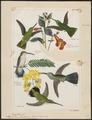Hylocharis portmanni - 1700-1880 - Print - Iconographia Zoologica - Special Collections University of Amsterdam - UBA01 IZ19100489.tif