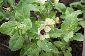 Vernalization - Many species of henbane require vernalization before flowering.