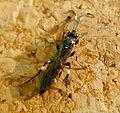 Ichneumoninae female - Flickr - gailhampshire.jpg