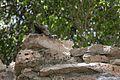 Iguana - Tulum, Quintana Roo, Mexico - August 17, 2014 02.jpg