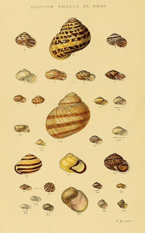 Illustrated Index of British Shells Plate 23.jpg