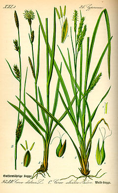 Illustration Carex sylvatica0.jpg