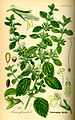 Illustration Melissa officinalis0.jpg