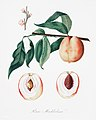 Illustration from Pomona Italiana Giorgio Gallesio by rawpixel00005.jpg