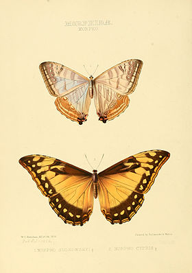 Illustrations of new species of exotic butterflies Morpho.jpg