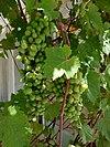 Immature grapes 02.jpg