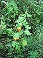 Impatiens capensis 4-eheep (5097884244).jpg