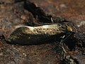 Incurvaria masculella - Feathered diamond-back - Минно-чехликовая моль переливчатая (40960458462).jpg