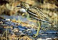 Indian Stone-curlew (Burhinus indicus) (19839706633).jpg