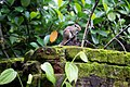 Indian palm squirrel in Sri Lanka 02.jpg