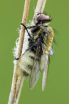 Infected cluster fly.jpg