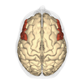 Inferior frontal gyrus - superior view.png