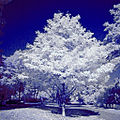 Infrared photograpg of maples.jpg