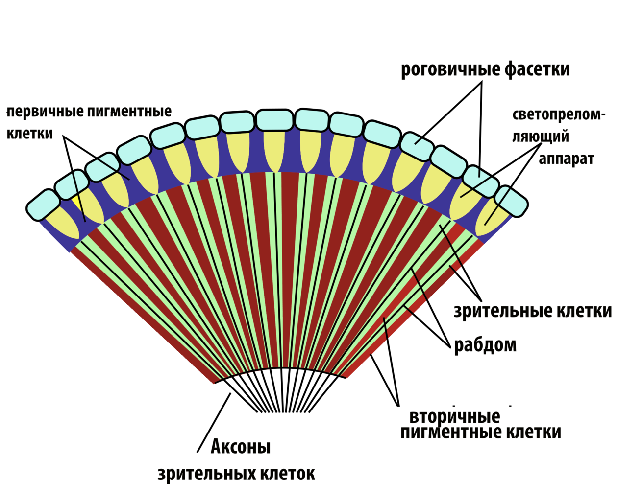 Fileinsect Compound Eye Diagram Rusg Wikimedia Commons