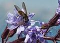 Insekt auf einem Alpen-Milchlattich.jpg