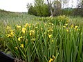 Iris pseudacorus - paleyellow iris - Flickr - Matt Lavin (7).jpg