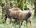 Irl-female red deer Killarney.jpg