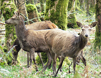 British Isles - Some female red deer in Killarney National Park, Ireland.