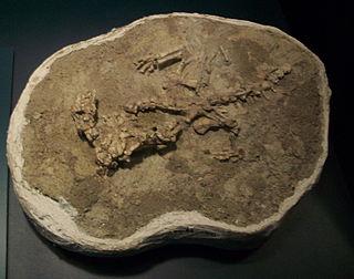 <i>Isalorhynchus</i> genus of reptiles