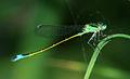 Ischnura elegans 03.jpg