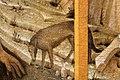 Jacopo bellini, san girolamo nel deserto, dalla coll. pompei, vr 08 lupo.JPG