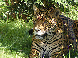 Jaguar in the Shade.jpg