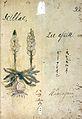 Japanese Herbal, 17th century Wellcome L0030117.jpg